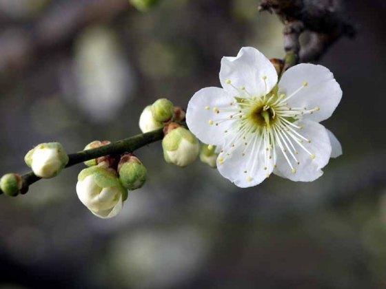 white-plum-180-8